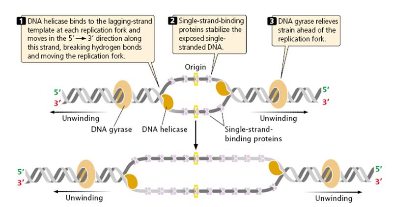 Dna Replication Topoisomerase